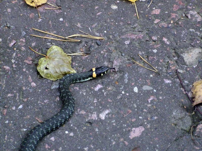 змеи пермского края с картинками далеко